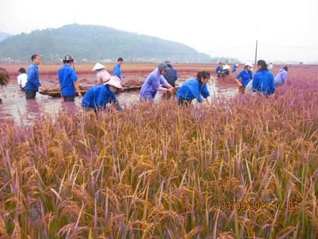 Đoàn viên giúp dân gặt lúa chạy bão