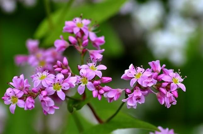 Hoa tam giác mạch phủ hồng các cao nguyên ảnh 2