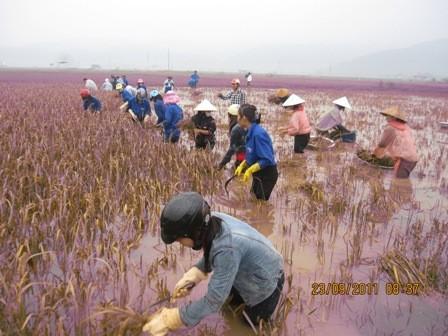 Tuổi trẻ Hà Tĩnh giúp dân thu hoạch lúa chạy bão ảnh 6