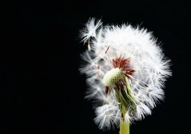 Vẻ đẹp buồn man mác của hoa bồ công anh ảnh 12
