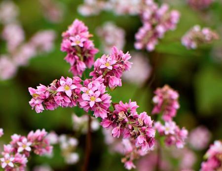 Hoa tam giác mạch phủ hồng các cao nguyên ảnh 5