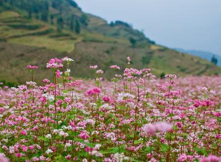 Hoa tam giác mạch phủ hồng các cao nguyên ảnh 11