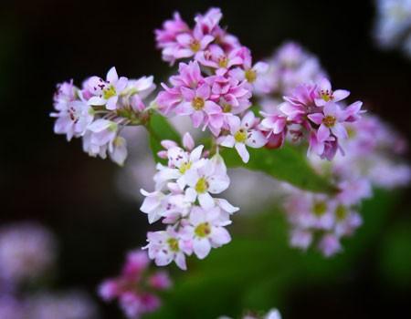 Hoa tam giác mạch phủ hồng các cao nguyên ảnh 14