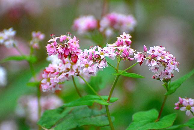 Hoa tam giác mạch phủ hồng các cao nguyên ảnh 15