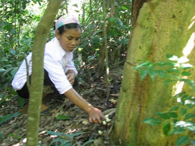 Người dân vào rừng thuộc Vườn Quốc gia Bến En hái nấm Lim Ảnh: Hoàng Lam
