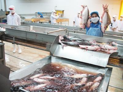 Chế biến cá tra tại Việt Nam Ảnh: Sáu Nghệ