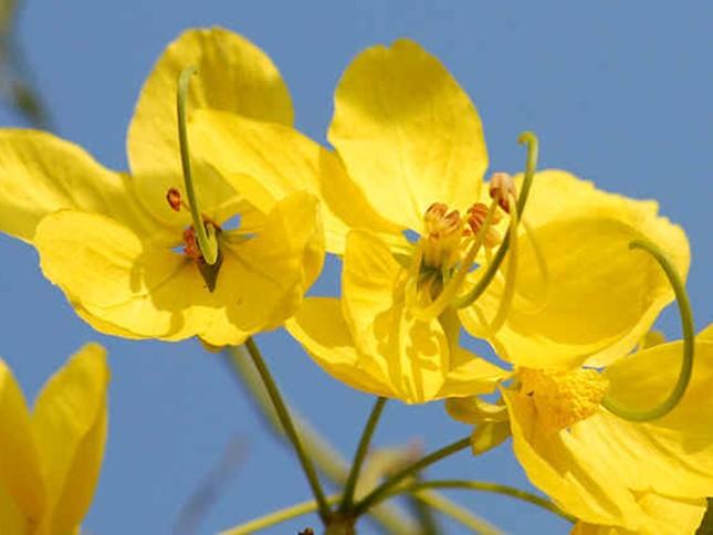 Hoa ratchaphruek, còn gọi là hoa bò cạp nước - quốc hoa Thái Lan