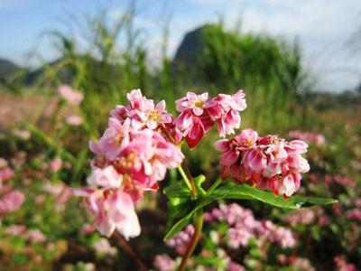 Hoa tam giác mạch phủ hồng các cao nguyên ảnh 1
