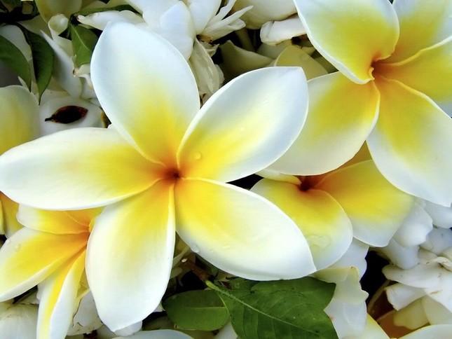 Hoa chăm-pa - quốc hoa của Lào