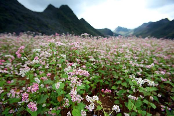 Hoa tam giác mạch phủ hồng các cao nguyên ảnh 7