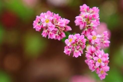 Hoa tam giác mạch phủ hồng các cao nguyên ảnh 20
