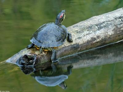 """""""Song song với việc đưa cụ rùa lên để điều trị vết thương khẩn cấp, chúng ta vẫn phải tiêu diệt ngay rùa tai đỏ"""", PGS Hà Đình Đức đề nghị. (Nguồn: www.virginiaherpetologicalsociety.com )"""