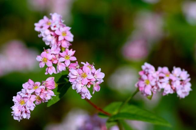 Hoa tam giác mạch phủ hồng các cao nguyên ảnh 10