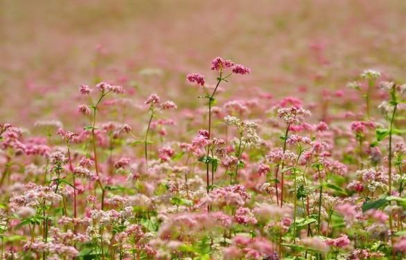 Hoa tam giác mạch phủ hồng các cao nguyên ảnh 3