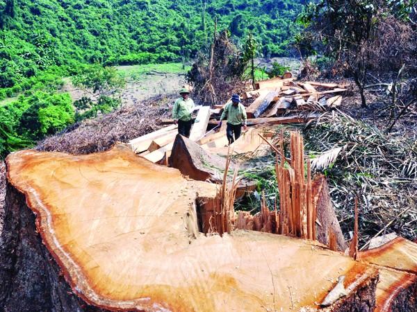 Những gốc cây cổ thụ tại rừng phòng hộ Sông Tranh bị đốn hạ vào cuối tháng 3-2012. Ảnh: Nguyễn Thành
