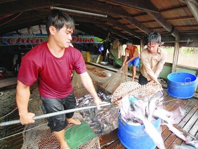 WWF cần đưa cá tra ra khỏi danh mục đỏ khi chưa có chứng cứ rõ ràng. Ảnh: Hoàng Vũ