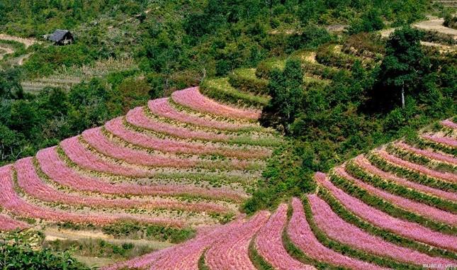 Hoa tam giác mạch phủ hồng các cao nguyên ảnh 13