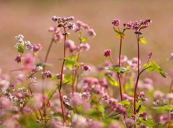Hoa tam giác mạch phủ hồng các cao nguyên ảnh 18