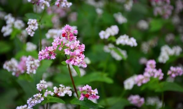 Hoa tam giác mạch phủ hồng các cao nguyên ảnh 8