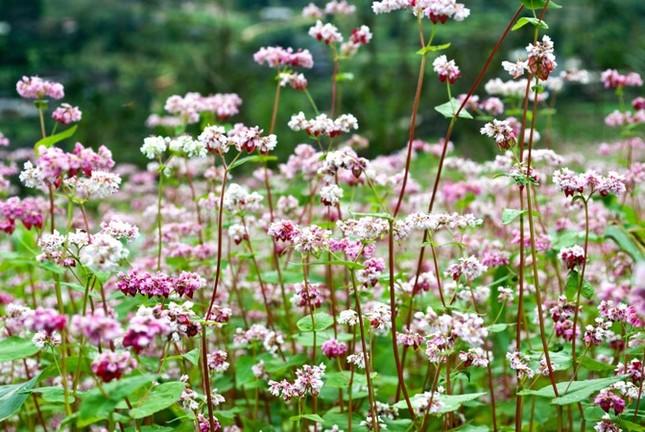 Hoa tam giác mạch phủ hồng các cao nguyên ảnh 12
