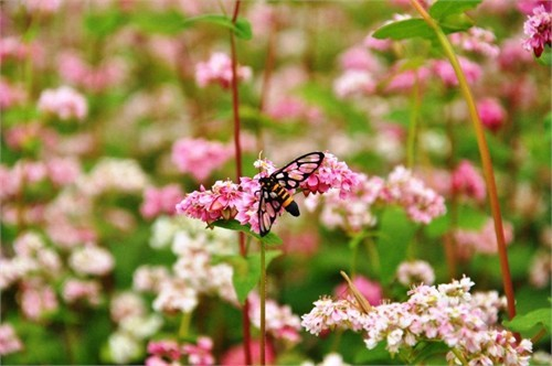 Hoa tam giác mạch phủ hồng các cao nguyên ảnh 9