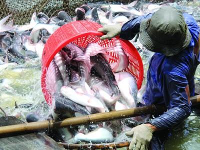 WWF muốn ngành nuôi cá tra Việt Nam dùng tiêu chuẩn ASC. Ảnh: Duy Khương