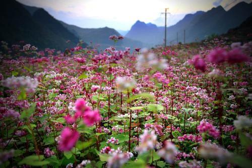 Hoa tam giác mạch phủ hồng các cao nguyên ảnh 22