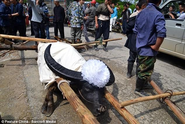 Chú trâu 28 tuổi được người dân tổ chức đám tang linh đình