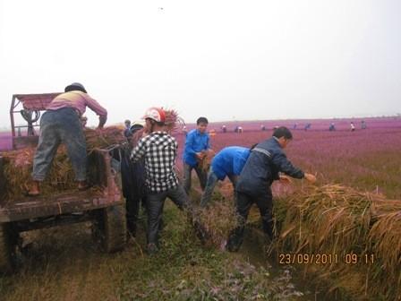Tuổi trẻ Hà Tĩnh giúp dân thu hoạch lúa chạy bão ảnh 5