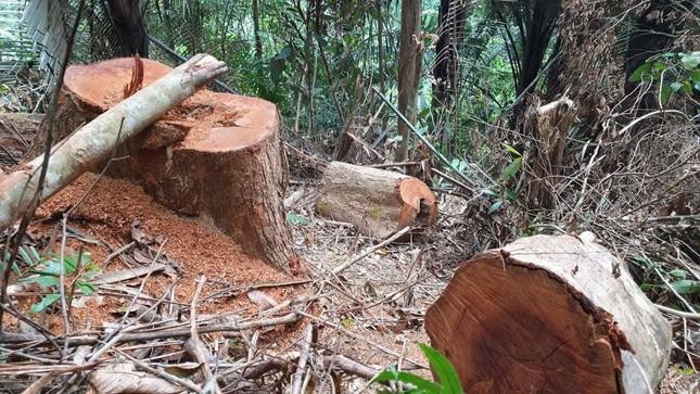 Rừng phòng hộ bị đốn hạ, chủ rừng không hay biết ảnh 3