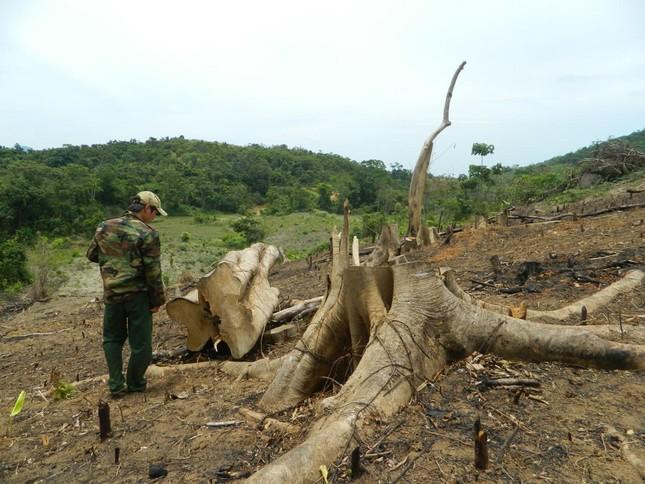 Rừng phòng hộ bị đốn hạ, chủ rừng không hay biết ảnh 2