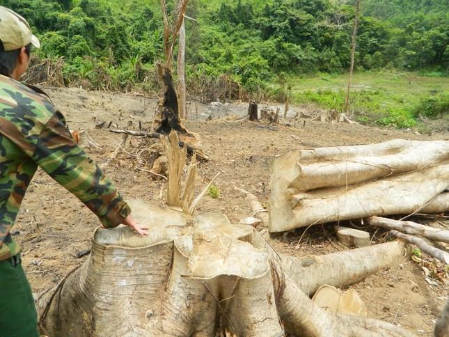 Rừng phòng hộ bị đốn hạ, chủ rừng không hay biết ảnh 1