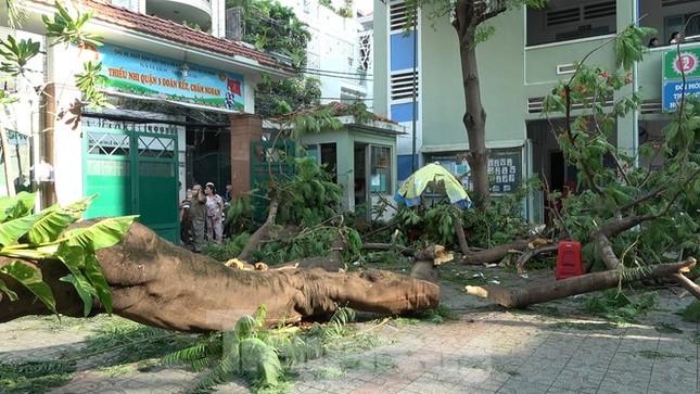 Phượng vỹ nguy hiểm dễ gãy, đổ nhánh: Sao còn trồng trong sân trường? ảnh 2