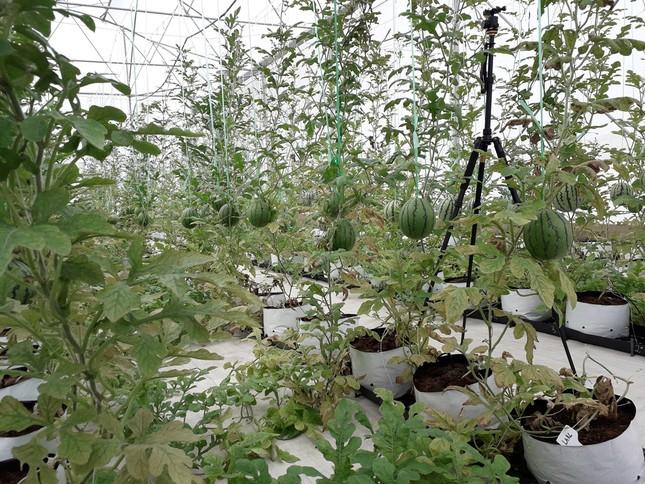 Sản xuất rau quả sạch trên bãi rác ở TPHCM ảnh 10