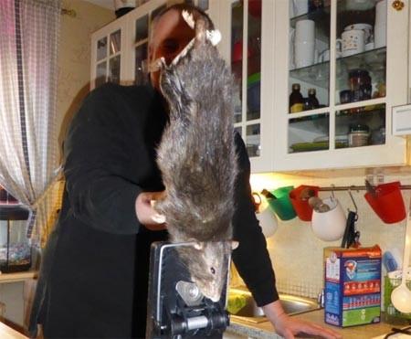 Bắt được chuột khổng lồ gặm thủng tường bê tông ảnh 1