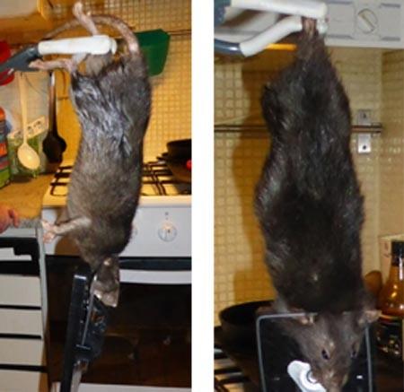 Bắt được chuột khổng lồ gặm thủng tường bê tông ảnh 2