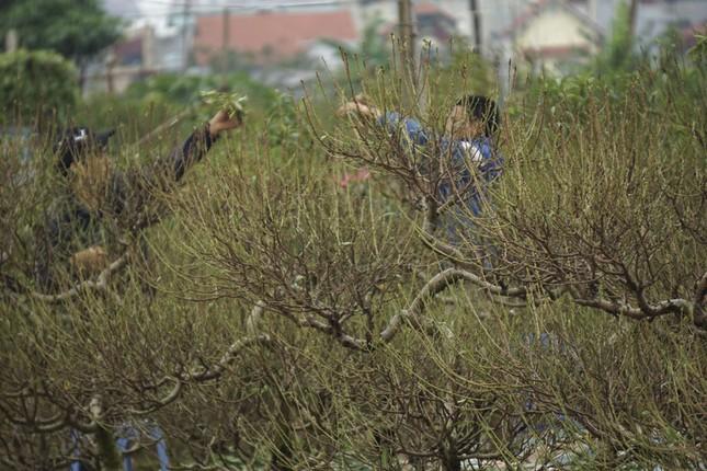 Hoa đào đã nở ở vườn đào Nhật Tân ảnh 10