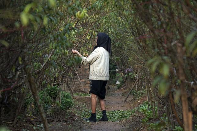 Hoa đào đã nở ở vườn đào Nhật Tân ảnh 11