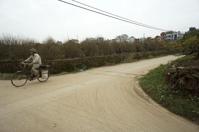 Hoa đào đã nở ở vườn đào Nhật Tân ảnh 1