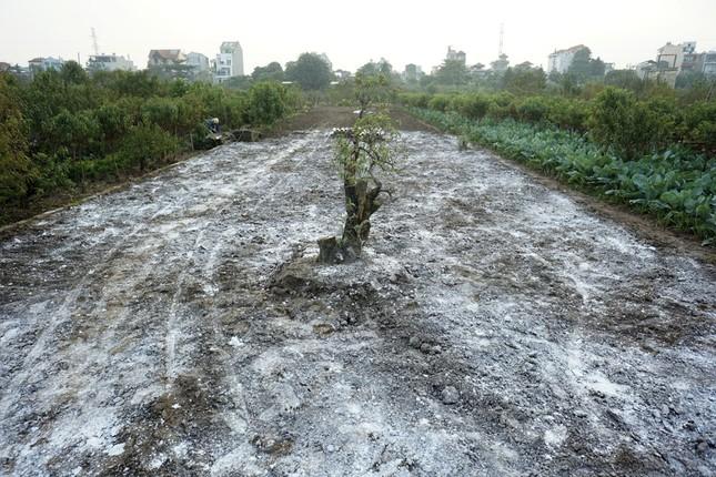 Hoa đào đã nở ở vườn đào Nhật Tân ảnh 2