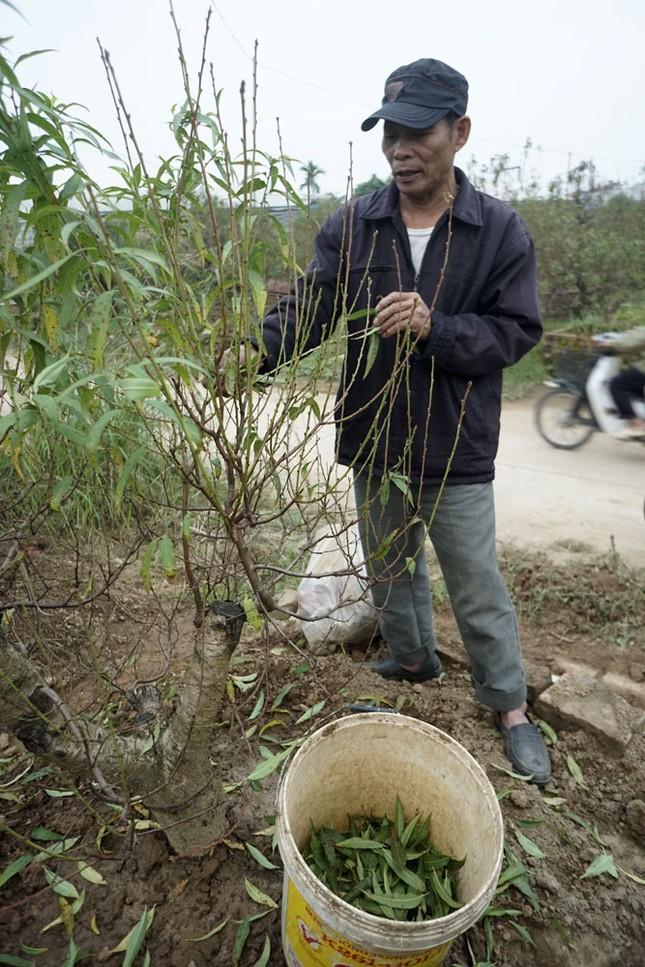 Hoa đào đã nở ở vườn đào Nhật Tân ảnh 4