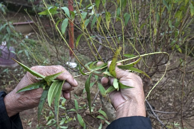 Hoa đào đã nở ở vườn đào Nhật Tân ảnh 5