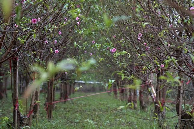 Hoa đào đã nở ở vườn đào Nhật Tân ảnh 6