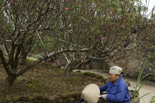 Hoa đào đã nở ở vườn đào Nhật Tân ảnh 7