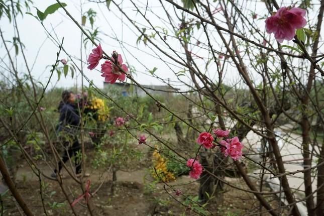 Hoa đào đã nở ở vườn đào Nhật Tân ảnh 8