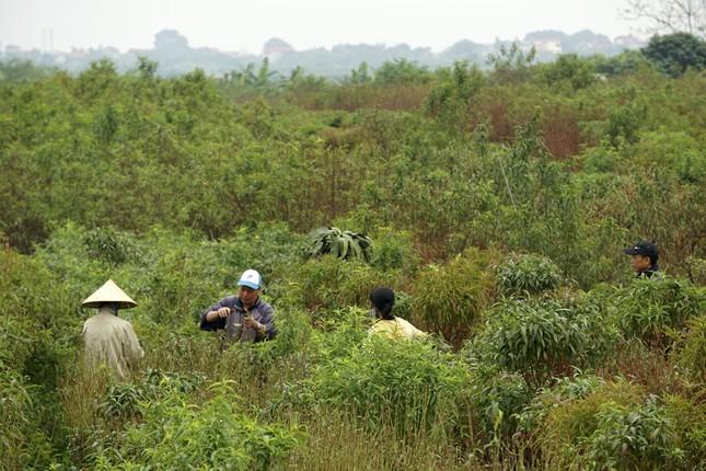 Hoa đào đã nở ở vườn đào Nhật Tân ảnh 9