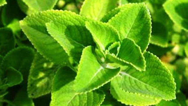 9 loại cây trồng trong nhà làm gia vị và thuốc chữa bệnh ảnh 1