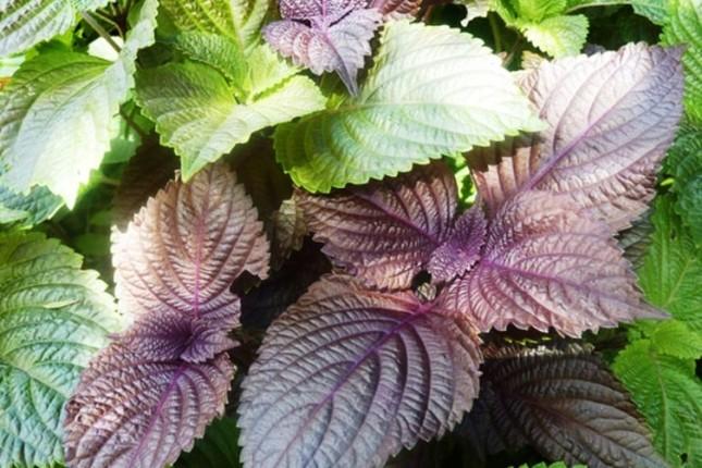 9 loại cây trồng trong nhà làm gia vị và thuốc chữa bệnh ảnh 5