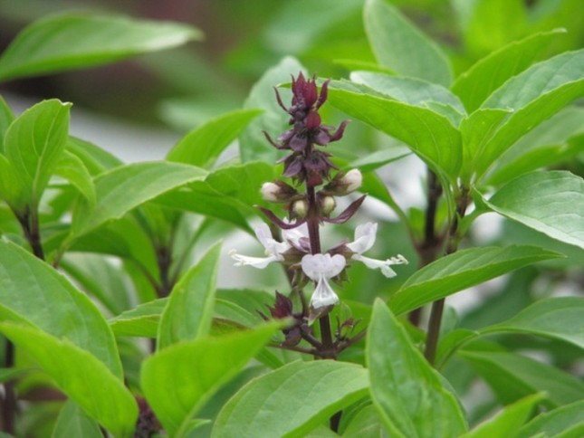 9 loại cây trồng trong nhà làm gia vị và thuốc chữa bệnh ảnh 8