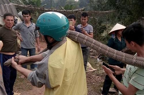Rắn hổ mang khổng lồ ở Phú Thọ có tên trong sách đỏ ảnh 1